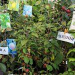 Выбор сортов. Что нужно учитывать при подборе плодовых и ягодных культур?