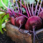 Овощи с огорода: Свекла. Выращивание рассады. Уход. Хранение