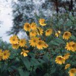Растение — эколог. Как топинамбур защищает окружающую среду?