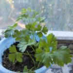Выращиваем зелень на подоконнике