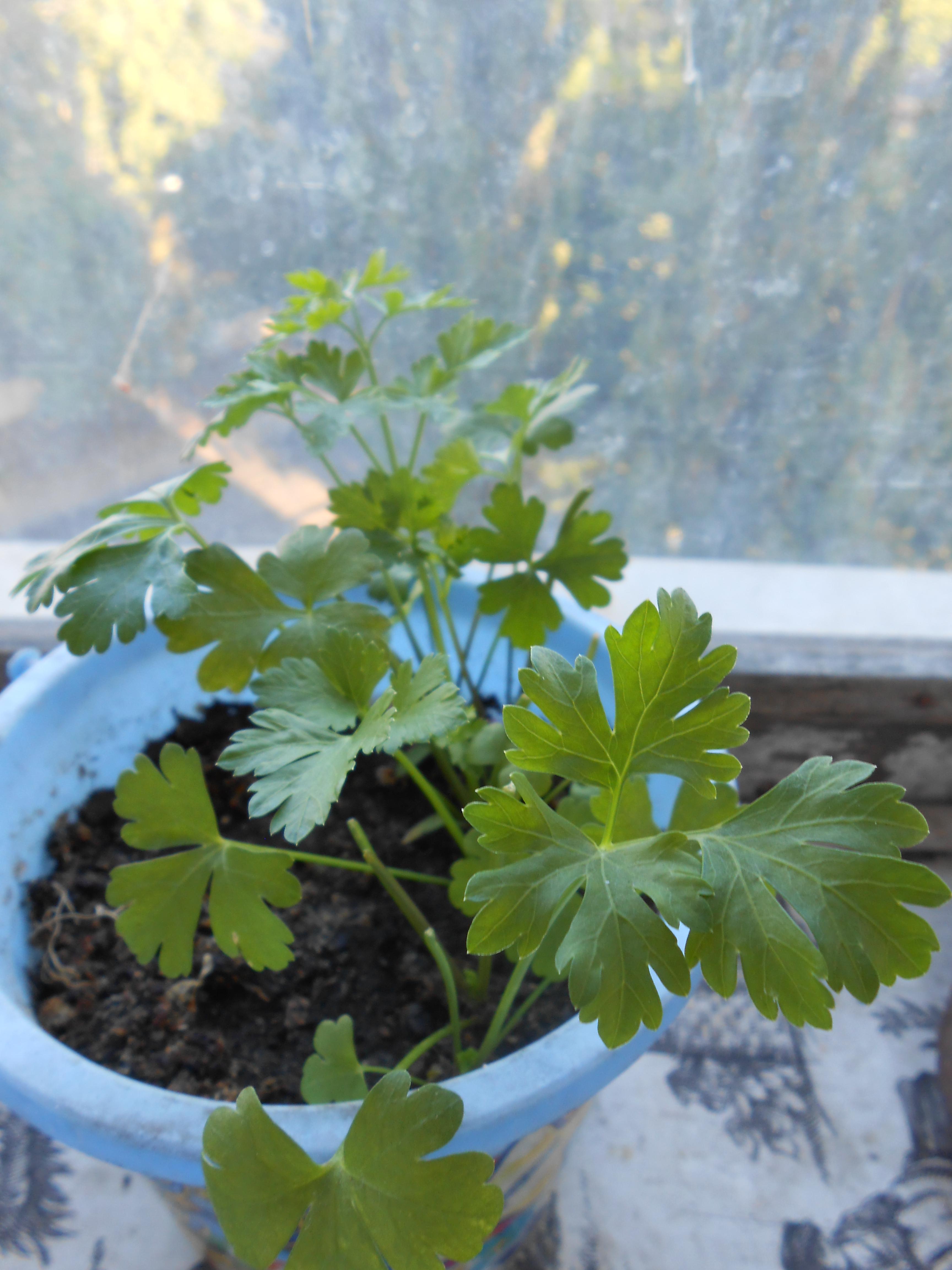 Какие листовые овощи можно выращивать на подоконнике?