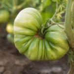 Сорт томатов Бычье сердце