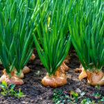 Как посадить и ухаживать за луком на огороде