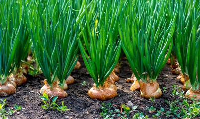 Как посадить и ухаживать за луком на огороде картинка
