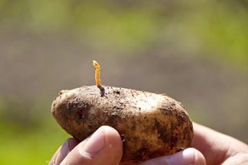 как избавится от вредителей картофеля картинка