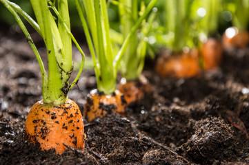Посев семян моркови без прореживания картинка