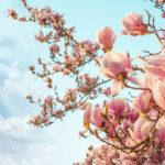 Деревья магнолии: выращивание, обрезка и уход