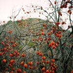 3 важных совета по сбору и использованию плодов шиповника