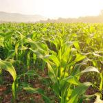 Выращивание рассады кукурузы безземельным способом