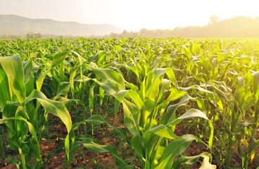 Выращивание рассады кукурузы безземельным способом картинка