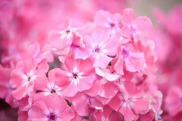 Неприхотливые цветы для дачи картинка