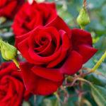 Роза: потрясающее разнообразие королевы цветов