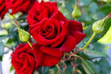Роза картинка