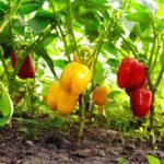 Выращиваем перец: советы по посадке и подкормке рассады