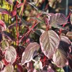 Дёрен — красивый кустарник для сада