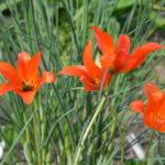 Тюльпан многолетник-что это за цветок?