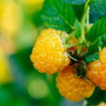 Описание сорта малины «Желтый Гигант» и его особенности