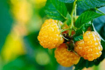 Сорт малины «Желтый Гигант» фото
