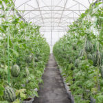 Выращиваем арбузы в теплице самостоятельно