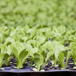 Посев капусты на рассаду в теплице