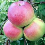 Карликовая яблоня Ковровое