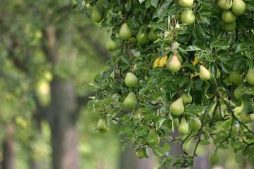 Защита яблонь и груш от болезней