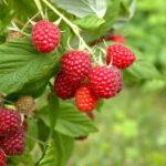 Обрезка малины – залог богатого урожая