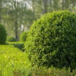 Лигуструм и бирючина – важные составляющие ландшафтного дизайна