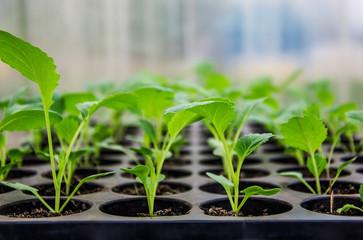 Насколько важна пикировка рассады капусты
