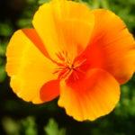 Эшшольция-цветок солнца