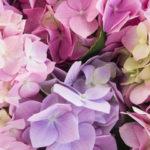 Миловидная Гортензия: формула божественного цветения