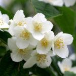 Чубушник. Благоухающая красота при минимальном уходе. Как посадить и вырастить? И почему это не жасмин, хотя его часто так называют?