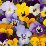 Выращивание цветка Анютины глазки на садовом участке