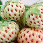 Что такое клубника Пайнберри и как её вырастить