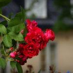 Обрезка различных видов кустовых и плетистых роз