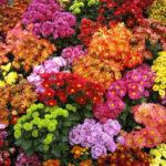 Хризантема: период цветения