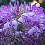 Клеома: размножение семенами и уход