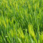 Польза сидератов для огорода