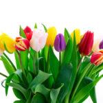 Когда сажать тюльпаны в цветник