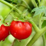 Правильно готовим рассаду помидоров