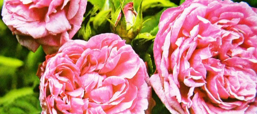 Чайногибридные розы