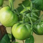 Зеленые помидоры: как ускорить созревание