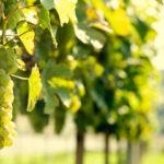 Уход за виноградом — обрезка