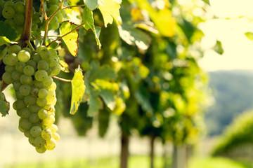 Уход за виноградом - обрезка