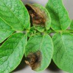 Фитофтора на растениях. Борьба с заболеванием