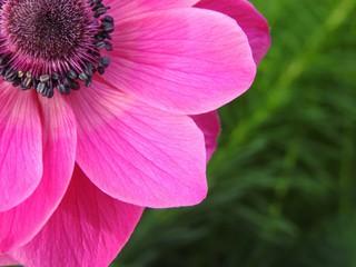Цветок анемона махровая