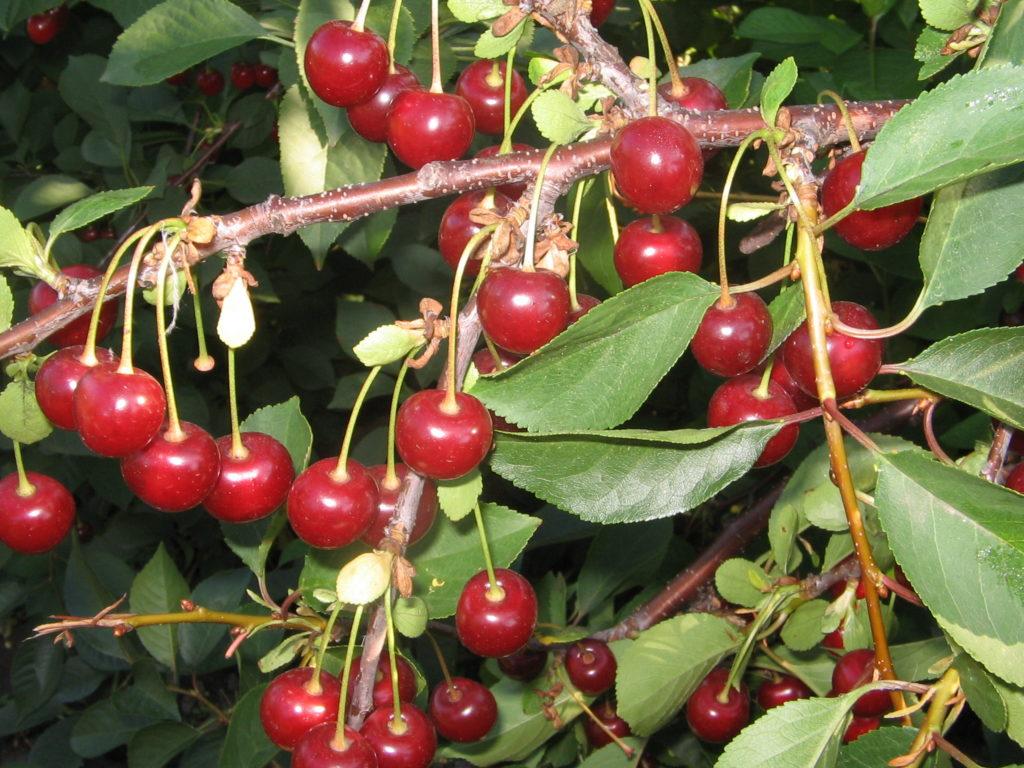 сорта вишни деревья с фото и описанием