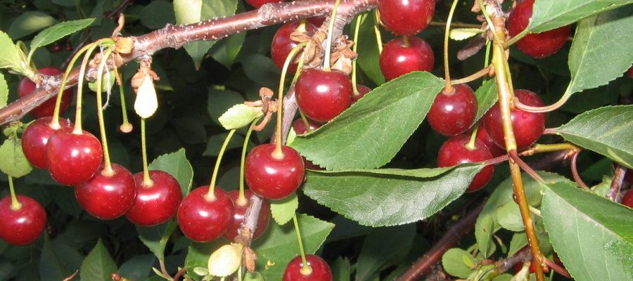 7 вкуснейших сортов вишни для Подмосковья