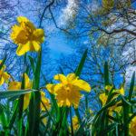 Секреты выращивания нарциссов в саду