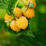 Желтая малина: описание, польза и вред, как посадить